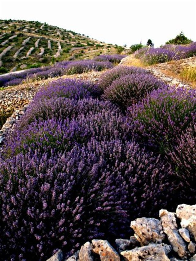 Lavender fields on Island Hvar, Croatia