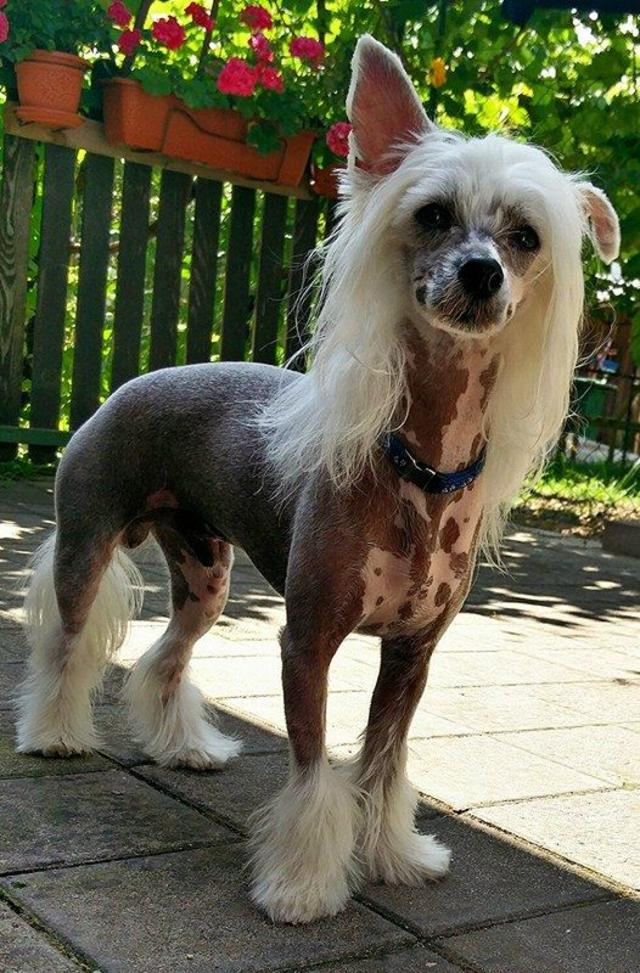 Chinese Crested tough life <3