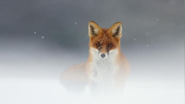 Foxy Haze