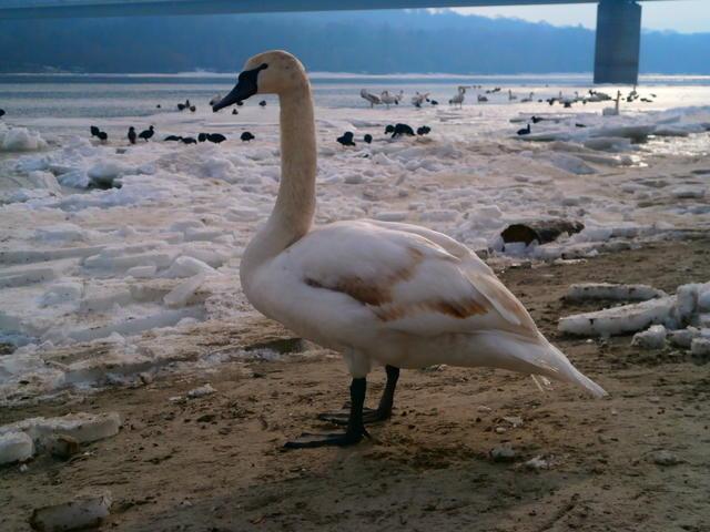 Mladi labud